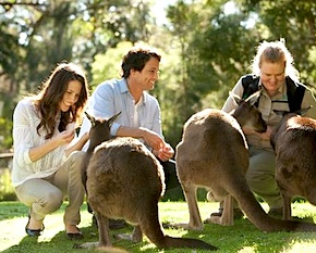 DMC Melbourne travels with Incentive group to the wildlife sanctury with iconic Australian animals like kangaroos, koalas or wombats during trip to Australia