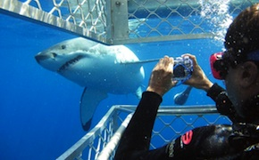 dmc-australia-luxury-travel-shark-dive-uniq