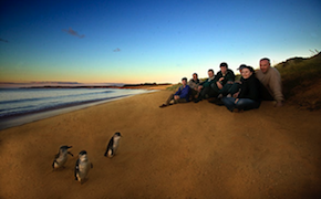 DMC Melbourne takes incentive travel delegates to watch penguin parade on Phillip Island in Australia