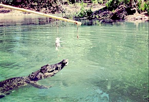 In Australia incentive travel delegates enjoy lunch with crocodiles with dmc Great Barrier Reef, UNIQ Travel Australia