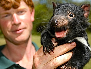 Incentive travel delegates visiting Australia come face to face with the Tasmanian Devil with dmc Hobart, UNIQ Travel & Incentives Australia