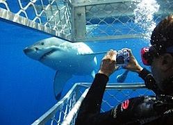 australia_incentive-travel-shark-dive