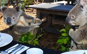 dmc-sydney-family-breakfast-with-koalas-uniq-luxury-travel