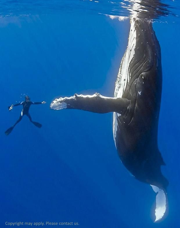 In Australia incentive travel delegates or luxury travel aficionados can venture out into the Ningaloo reef and swim with humpback whale. For more ask your destination management company Australia, UNIQ Travel & Incentives